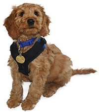 Small puppy sitting down looking up at the camera with big dark eyes. The puppy is a Labradoodle crossed with a Red Setter so has wavy fur, floppy ears and a reddish colour to it's coat. It has a blue collar on and a small black and blue harness.